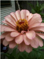 Blossoming/Salmon_Rose_Zinnia_July2015.jpg