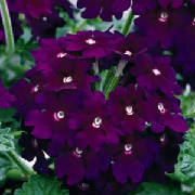 Blossoming/dark_purple_verbena_web.jpg