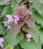 flowers_more/Purple_deadnettle.jpg