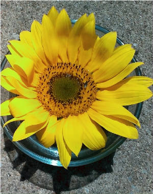 flowers_more/Sunflower_Tincture_June2017_smaller.jpg
