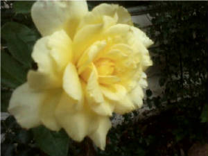 flowers_more/Yellow_Rose.jpg