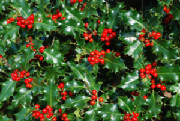 flowers_more/holly_2.jpg