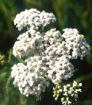 flowers_more/white_yarrow_web.jpg